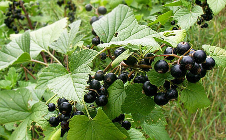 tratamentul articulației frunzelor de coacăze negre diagnosticul de probleme articulare