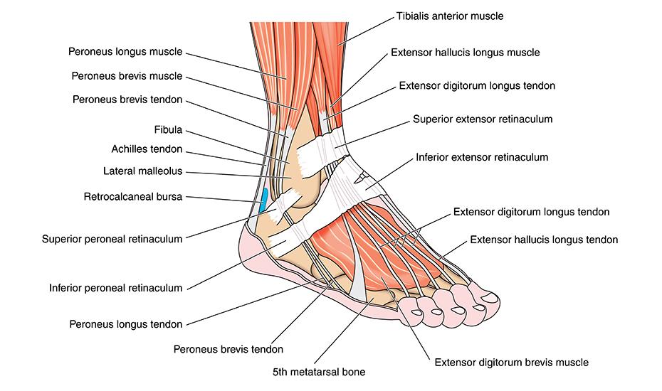 osul gleznei doare durere severă în timpul fracturii în articulația gleznei