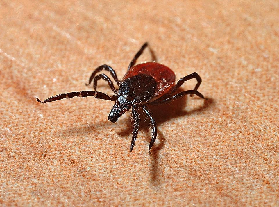 Boala Lyme si ce pericole are muscatura de capusa