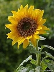 tratamentul articulației floarea-soarelui droguri de îmbunătățire comună