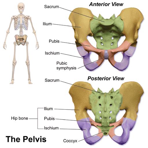 articulațiile rănite de la coada posterioară