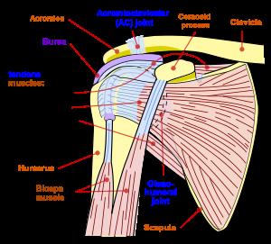 ligamente pe articulația umărului rănit 40 de ani dureri la genunchi