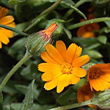 plante medicinale pentru boala articulară articulația artroză